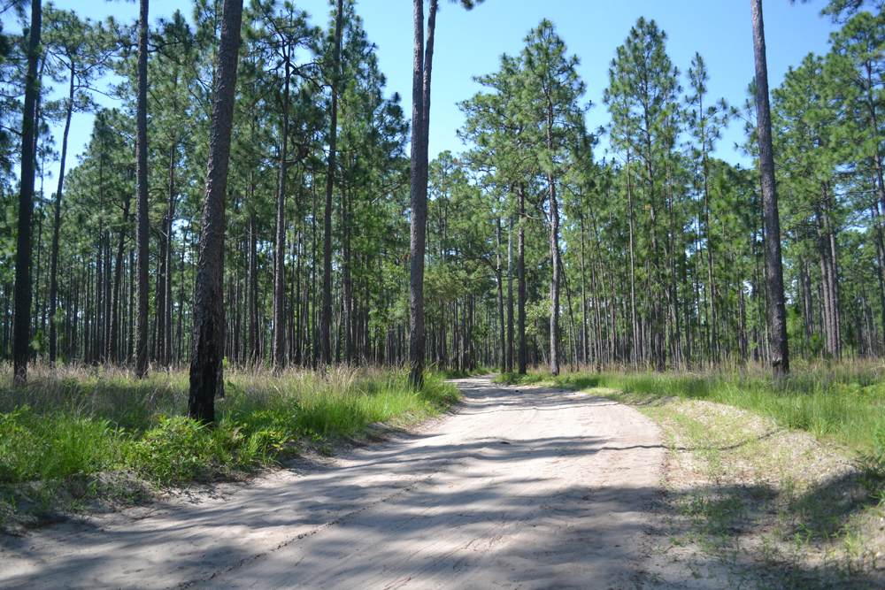 Developers plan to build a maximum of 9,000 homes over time on the Cainhoy Plantation. Centuries-old plantation roads will become walking and biking trails, connecting the housing communities. (Photo/Liz Segrist)
