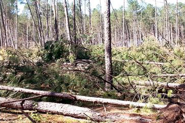 Recently thinned tracts like this pine stand in Lee County were most susceptible to Hurricane Matthew's winds. (Photo/Provided)